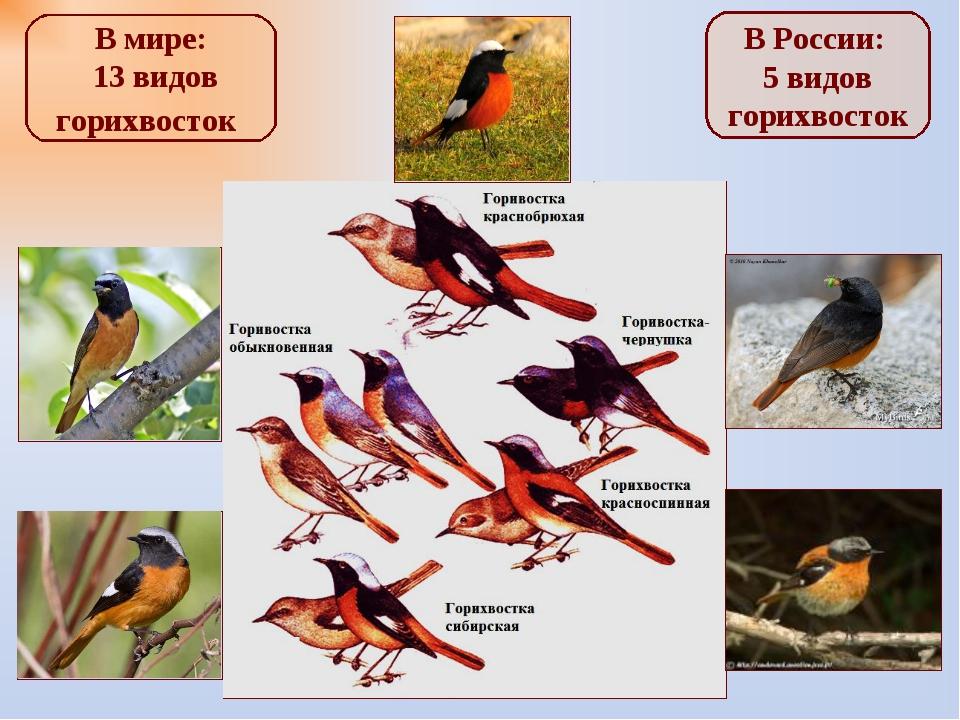 В мире: 13 видов горихвосток В России: 5 видов горихвосток