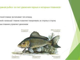 Аквариумная рыбка- за счет движения парных и непарных плавников Хвостовой пла