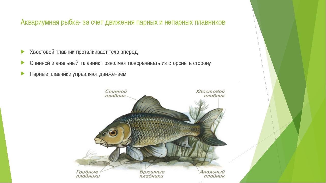 Аквариумная рыбка- за счет движения парных и непарных плавников Хвостовой пла...