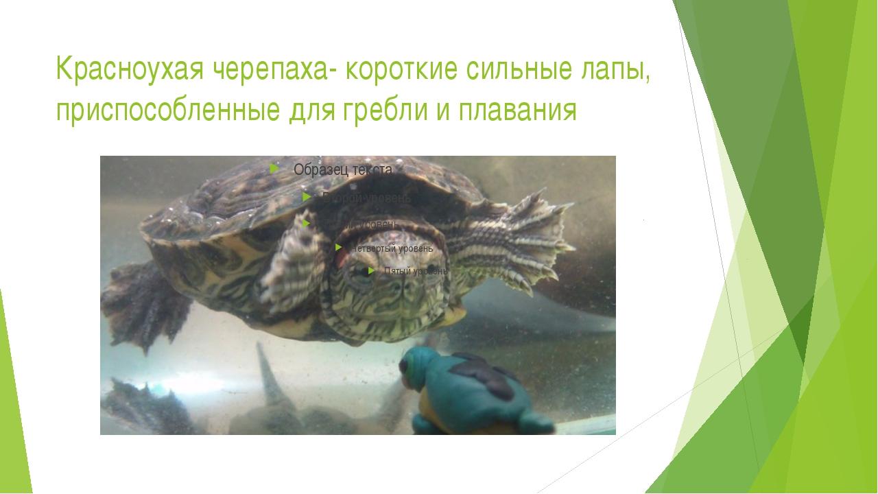 Красноухая черепаха- короткие сильные лапы, приспособленные для гребли и плав...