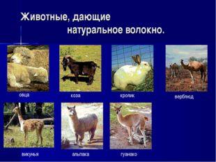 викунья альпака гуанако верблюд Животные, дающие натуральное волокно. овца ко