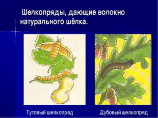 Шелкопряды, дающие волокно натурального шёлка. Тутовый шелкопряд Дубовый шел