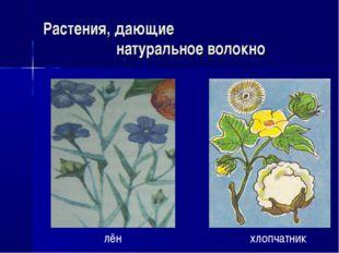 Растения, дающие натуральное волокно лён хлопчатник