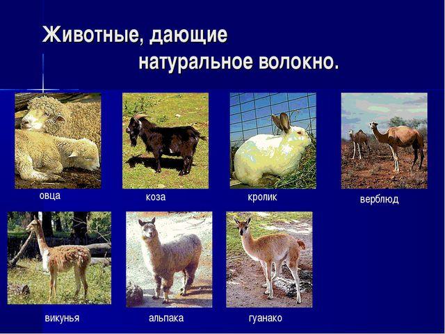 викунья альпака гуанако верблюд Животные, дающие натуральное волокно. овца ко...