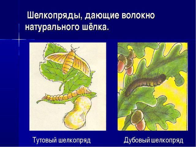 Шелкопряды, дающие волокно натурального шёлка. Тутовый шелкопряд Дубовый шел...