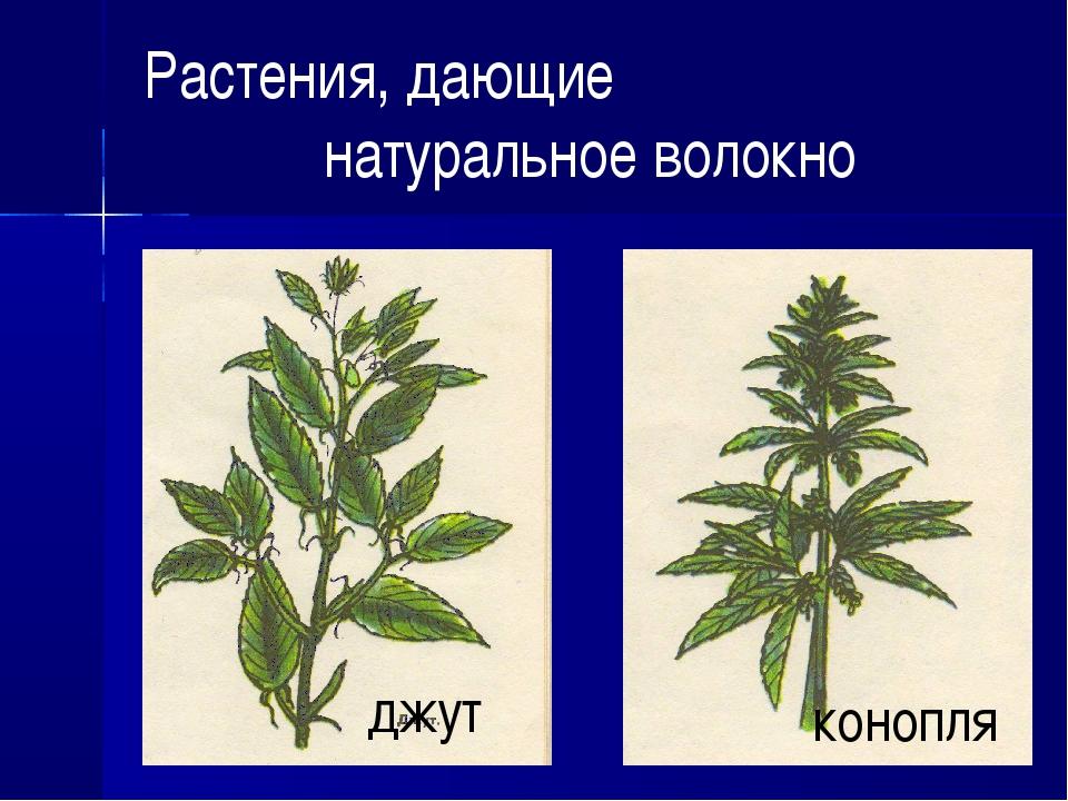 Растения, дающие натуральное волокно джут конопля