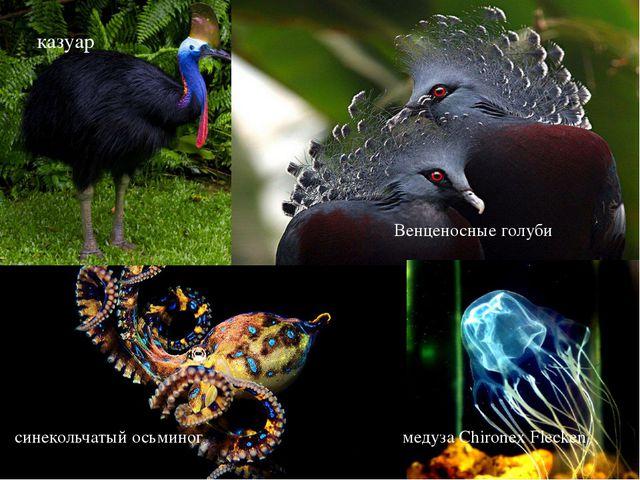 казуар Венценосные голуби синекольчатый осьминог медуза Chironex Flecken