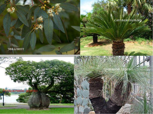 эвкалипт бутылочное дерево саговая пальма травяное дерево