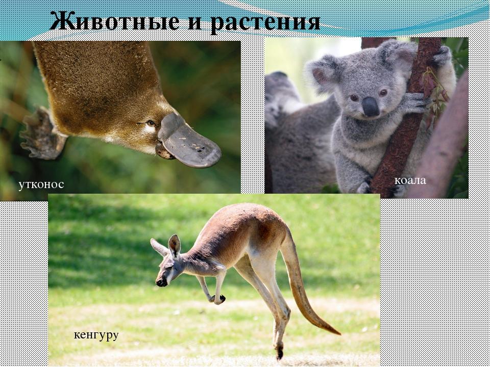 Животные и растения утконос коала кенгуру