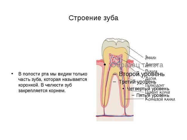 Строение зуба В полости рта мы видим только часть зуба, которая называется ко...