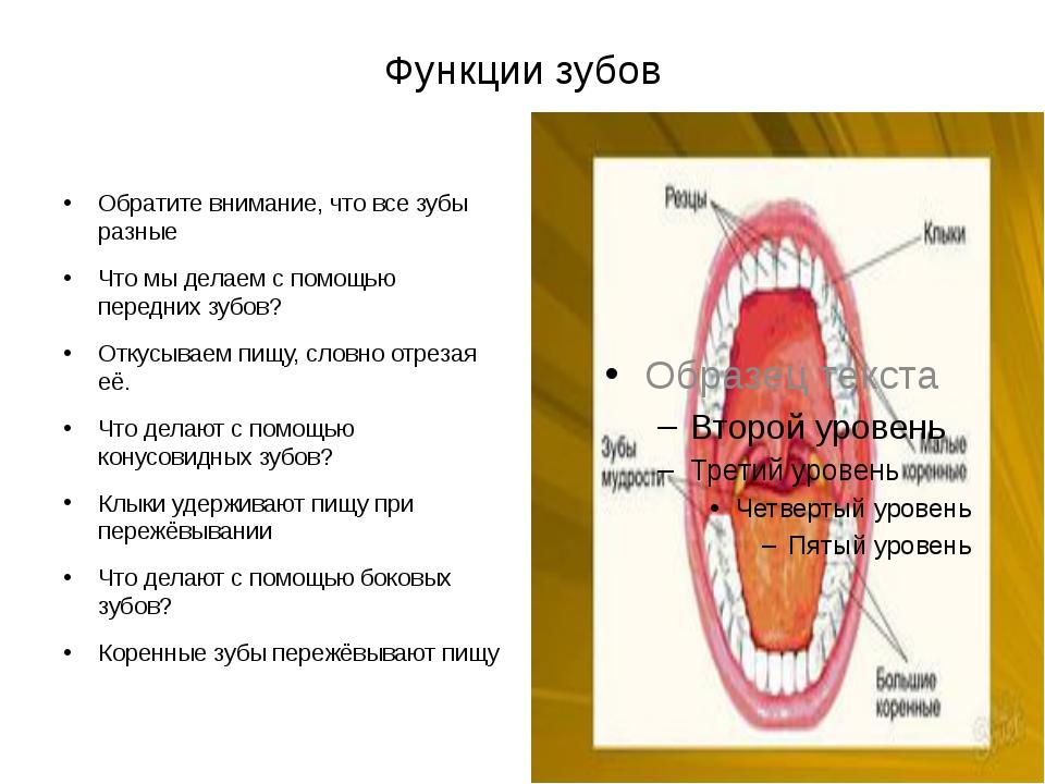 Функции зубов Обратите внимание, что все зубы разные Что мы делаем с помощью...