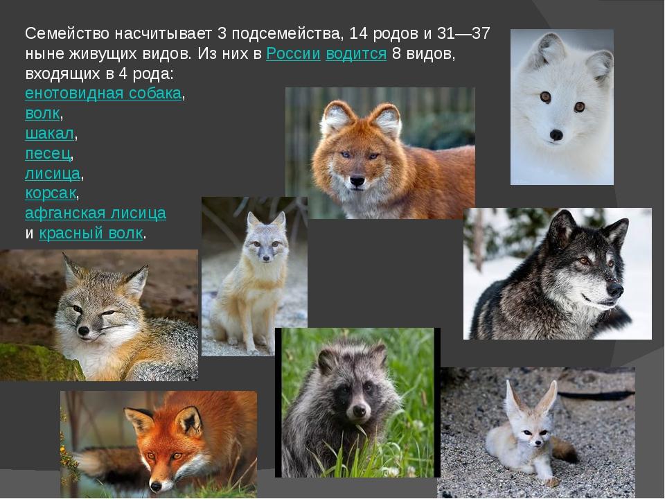 Семейство насчитывает 3 подсемейства, 14 родов и 31—37 ныне живущих видов. Из...