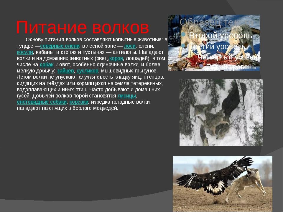 Питание волков Основу питания волков составляют копытные животные: в тундре —...