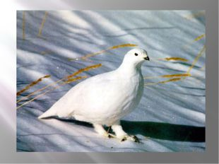 Какая птица к зиме белеет?