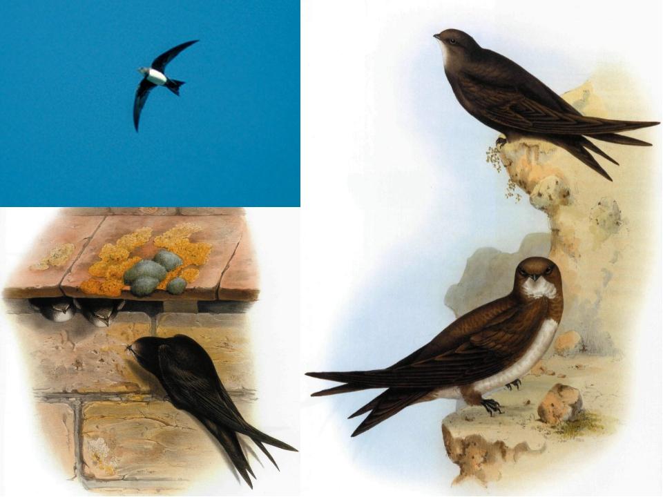 Какие наши птицы не садятся ни на воду, ни на землю?