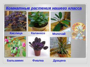 Комнатные растения нашего класса Кислица Бальзамин Каланхоэ Молочай Фиалка Др