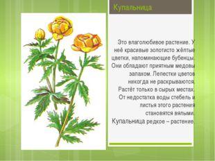 Купальница Это влаголюбивое растение. У неё красивые золотисто жёлтые цветки