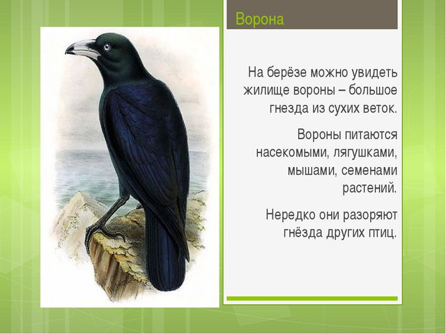 Ворона На берёзе можно увидеть жилище вороны – большое гнезда из сухих веток...