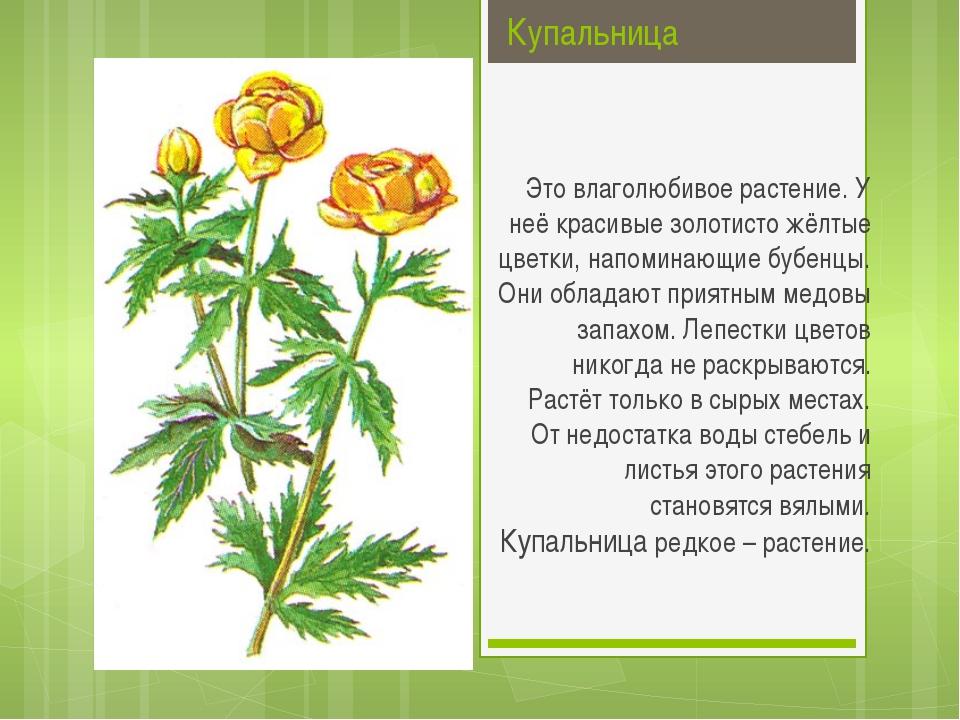 Купальница Это влаголюбивое растение. У неё красивые золотисто жёлтые цветки...