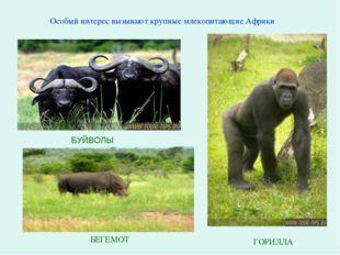 БУЙВОЛЫ Особый интерес вызывают крупные млекопитающие Африки БЕГЕМОТ ГОРИЛЛА