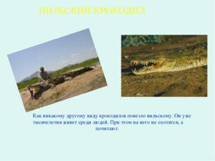 Как никакому другому виду крокодилов повезло нильскому. Он уже тысячелетия ж