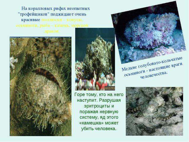 """На коралловых рифах неопытных """"трофейщиков"""" поджидают очень красивые моллюск..."""