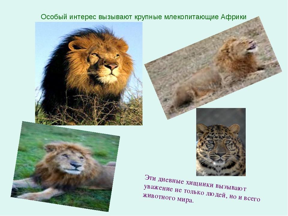 . Эти дневные хищники вызывают уважение не только людей, но и всего животного...