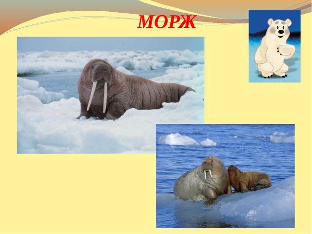 Крупный зверь, имеет бивни, Но не те, что у слонов, Вместо ног - имеет ласт...