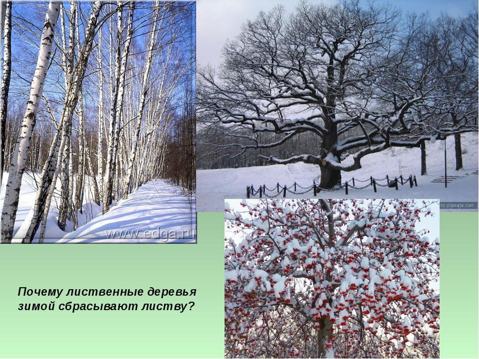 Почему лиственные деревья зимой сбрасывают листву?