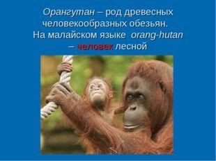 Орангутан – род древесных человекообразных обезьян. На малайском языке orang-