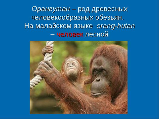 Орангутан – род древесных человекообразных обезьян. На малайском языке orang-...