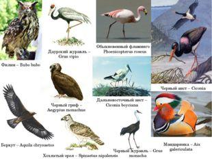 Обыкновенный фламинго – Phoenicopterus roseus Черный аист – Ciconia nigra Ман