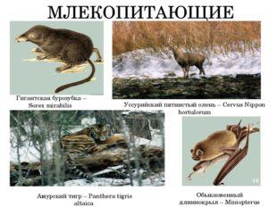 МЛЕКОПИТАЮЩИЕ Гигантская бурозубка – Sorex mirabilis Обыкновенный длиннокрыл