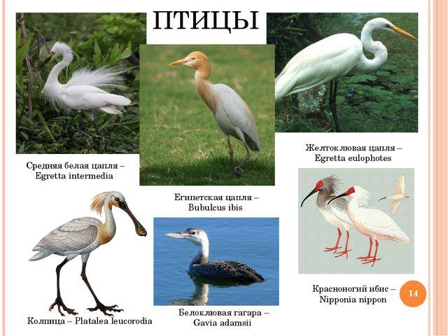 ПТИЦЫ Белоклювая гагара – Gavia adamsii Египетская цапля – Bubulcus ibis Сред...