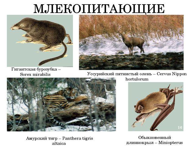 МЛЕКОПИТАЮЩИЕ Гигантская бурозубка – Sorex mirabilis Обыкновенный длиннокрыл...