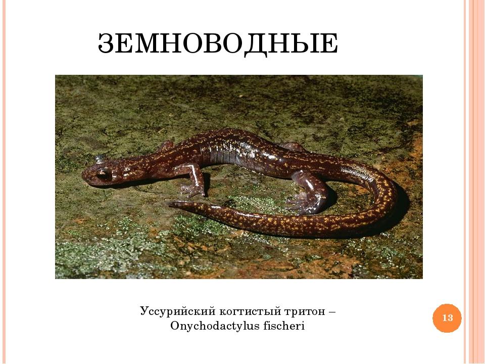 ЗЕМНОВОДНЫЕ Уссурийский когтистый тритон – Onychodactylus fischeri *