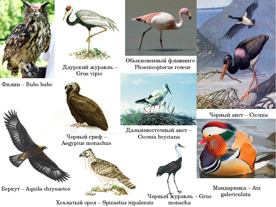Обыкновенный фламинго – Phoenicopterus roseus Черный аист – Ciconia nigra Ман...