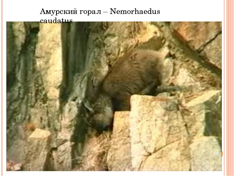 Амурский горал – Nemorhaedus caudatus *