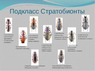 Подкласс Стратобионты Стратобионты-ботробионты (Laemostenus caspius ) Стратоб