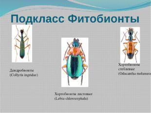 Подкласс Фитобионты Дендробионты (Collyris ingridae) Хортобионты стеблевые (O