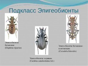 Подкласс Эпигеобионты Эпигеобионты бегающие (Elaphrus riparius) Эпигеобионты