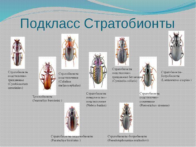 Подкласс Стратобионты Стратобионты-ботробионты (Laemostenus caspius ) Стратоб...