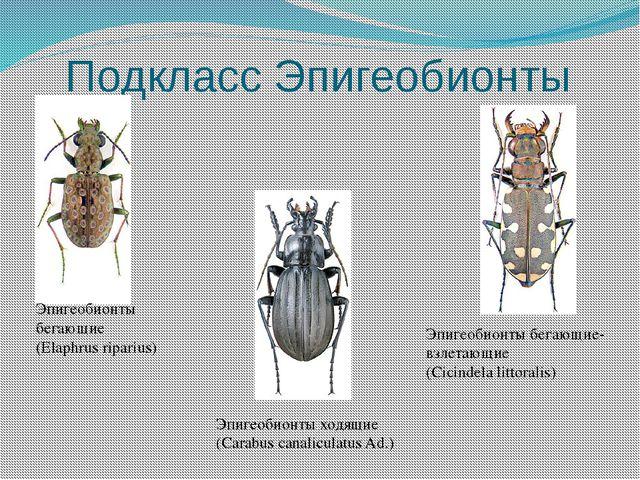 Подкласс Эпигеобионты Эпигеобионты бегающие (Elaphrus riparius) Эпигеобионты...
