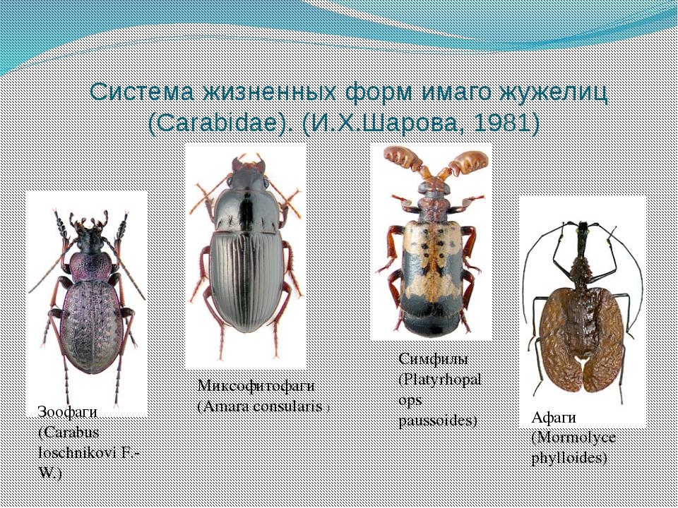 Система жизненных форм имаго жужелиц (Carabidae). (И.Х.Шарова, 1981) Зоофаги...