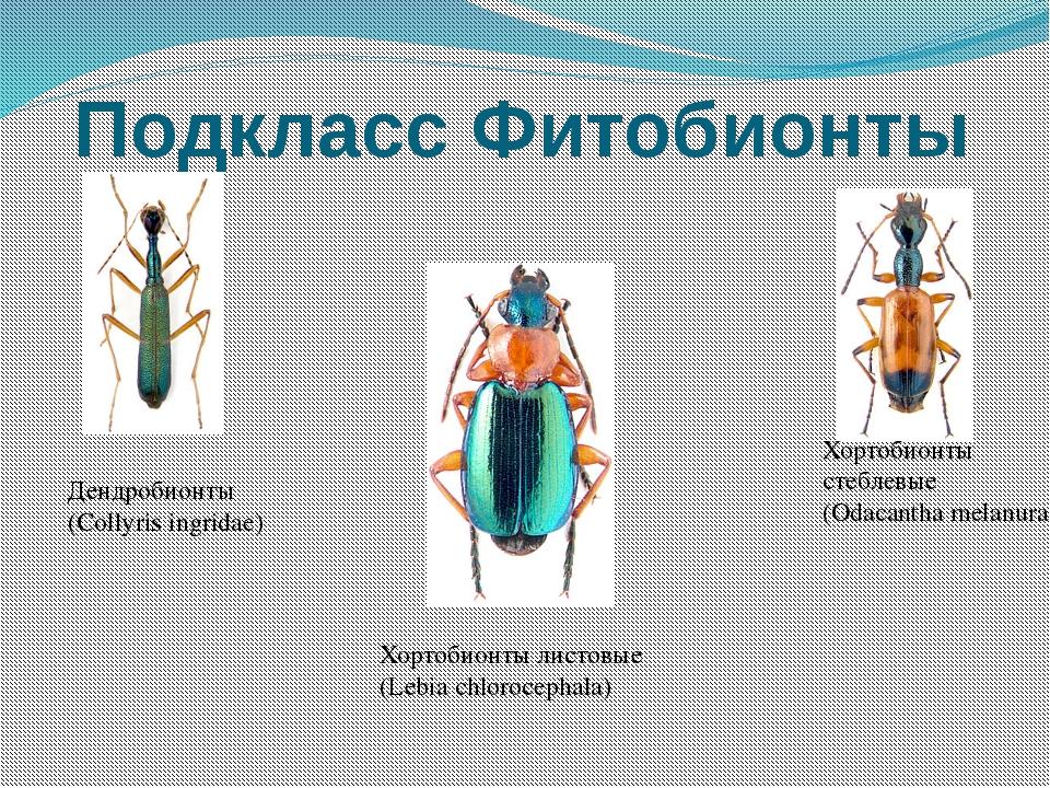 Подкласс Фитобионты Дендробионты (Collyris ingridae) Хортобионты стеблевые (O...