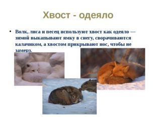 Хвост - одеяло Волк, лиса и песец используют хвост как одеяло — зимой выкапыв