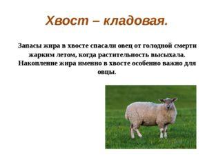 Хвост – кладовая. Запасы жира в хвосте спасали овец от голодной смерти жарки