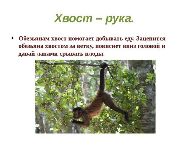 Хвост – рука. Обезьянам хвост помогает добывать еду. Зацепится обезьяна хвост...