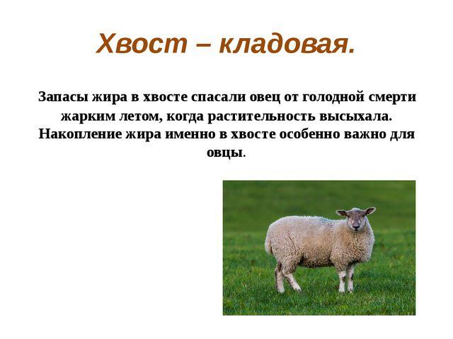 Хвост – кладовая. Запасы жира в хвосте спасали овец от голодной смерти жарки...