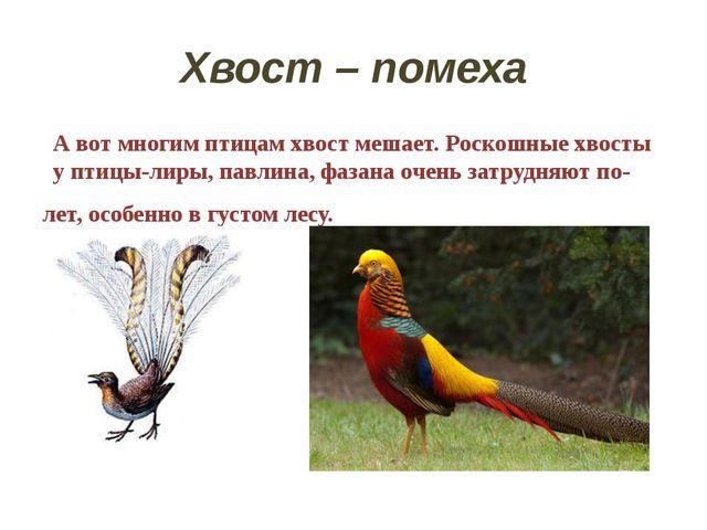 Хвост – помеха А вот многим птицам хвост мешает. Роскошные хвосты у птицы-лир...